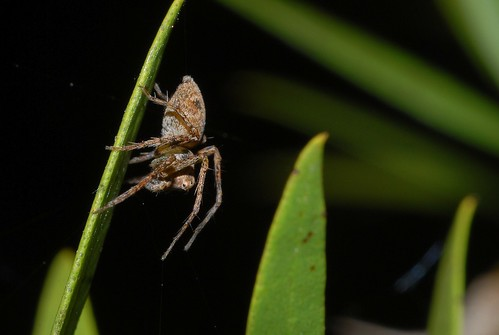 Lynx spider,watchful