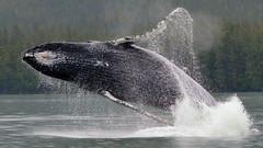 Cruise--Juneau Whales Breach Close up (vabandit) Tags: june alan closeup photo rainforest contest trails juneau company ms whale whales humpback zaandam guiding breach alaskas gastineau liotta 2013