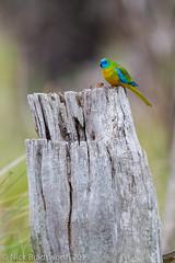 Turquoise Parrot (ʘwl) Tags: park bird canon eos mt nest turquoise parrot australia victoria national stump 7d vic pilot hollow chiltern turquoiseparrot
