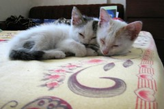 IMG_4266 - Bliss In The Fast Lane . . .IMG_4266 Flickr (clive_morrisau - Home Is Where The Heart is . . .) Tags: canon kittens powershot s80 cuenca thephilippines batangasprovince ibabao