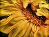 Sun Flower Wink (PhotosbySuzan) Tags: doublefantasy mixedflowers coupsdecoeur afeastformyeyes unforgetableflowers magicuniverse floralaromas frogpondflorals galleryoffantasticshots artcityart dagmarandsonja bestofunforgetableflowers