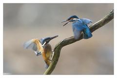Martins pêcheurs (Alcedo atthis) Kingfisher (Denis.R) Tags: france canon 300mm kingfisher lorraine moselle alcedoatthis martinpêcheur denisr 5dmarkiii denisrebadj