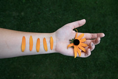 Black-Eyed Susan (lainey karissa) Tags: flowers people flower broken nature girl grass leaves closeup canon dead gold golden petals interesting hands fingers creative surreal pale petal nails wrist scar scars blackeyedsusan canonrebelxti
