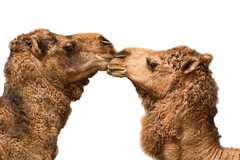 Camels Kissing On white (M.Moore Photography) Tags: two kissing close communication whitebackground heads camels facingeachother gettyinvited