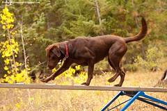 Dog Teeter Totter (KB RRR) Tags: dog motion agility teetertotter chocolatelabrador shyla