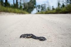 Eastern hognose snake (Heterodon platirhinos) (Don Filipiak) Tags: florida juvenile madisoncounty herps insitu heterodonplatirhinos herping closeupwideangle easternhognosesnake herpphotography nikonwideangle nikond7000 nikon1024mm nikonwildlife wideanglewildlife herpinhabitat wideanglenaturephotography
