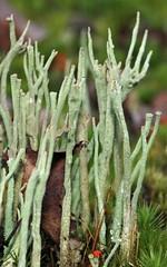 Cladonia glauca, Hatfield Moors, 8xi2008  DSC_0157 edit 1-001 (Cladoniophile) Tags: fungus lichen lichens alga symbiosis cladonia cladoniaceae podetia dualorganism