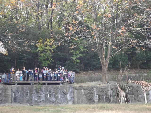 秋まつり期間の限定イベント:キリンの展望デッキ|名古屋市東山動植物園
