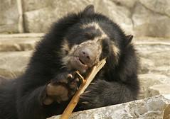 learning the flute (ucumari photography) Tags: bear zoo oso smithsonian dc washington flute national april bernie bernardo andean spectacled 2011 specanimal ucumariphotography dsc7998 osoandino eljuco