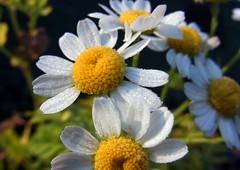 Blüte vom Mutterkrautut, NGID1387600449 (naturgucker.de) Tags: tanacetumparthenium mutterkraut naturguckerde 915119198 921596514 491651759 cmartinamöllenkamp ngid1387600449
