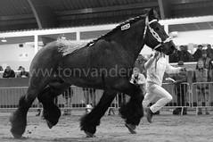 DSC_7725 (Ton van der Weerden) Tags: horses horse de cheval nederlands belges draft chevaux belgisch trait trekpaard ghlin trekpaarden fritsvanhetrietenhof