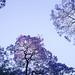 Porteñan Purple Snow_nov.13 - 11