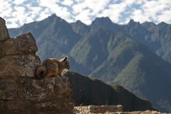 Viscacha (superboggly) Tags: peru inca rodent wildlife ruin andes machupicchu viscacha