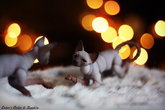 Pounce (pure_embers) Tags: uk cats pets cute dolls play bokeh bjd sphynx pure cinder sapphire embers pureembers bjdpets
