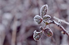 Givre (Manon) Tags: door snow macro nature leaves out neige extrieur feuilles givre tamron90mm nikond5000
