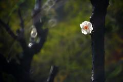 Plum  (MelindaChan ^..^) Tags: winter white plant flower tree branch blossom bokeh mel bloom melinda macau      chanmelmel makinon300mmf56