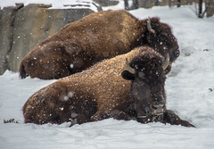 American Bison (Jan Crites) Tags: winter snow chicago nature animals zoo illinois nikon snowy brookfield snowing bison brookfieldzoo americanbison d600 chicagozoologicalsociety