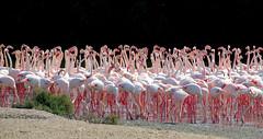 Ras Al Khor Wildlife Sanctuary, Dubai (Frans.Sellies) Tags: dubai flamingo uae emirates phoenicopterusruber greaterflamingo phoenicopterusroseus unitedarabemirates  img8777   avianexcellence     img8777editfranslr