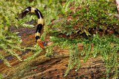 Plathelminthe ind., Guyane (MP7Aquit) Tags: trip animal america forest french wildlife sony south du 28 animaux tamron 90 77 fort sud plat ver amazonian invertebrate a77 2014 amazonie guyane amrique guiana amazonienne tamronspaf90mmf28dimacro invertbr plathelminthe