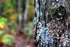 Mossy Tree (PaPeR.cLiP) Tags: autumn trees art fall nature beautiful leaves forest dark leaf moss october pennsylvania mountdavis mtdavis