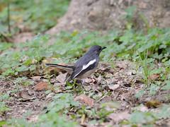 DSC_3671a.jpg (雙關) Tags: 鵲鴝 雌鳥