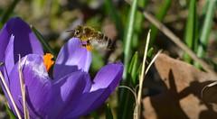 summsummsumm (deta k) Tags: flowers macro berlin germany deutschland spring flora natur pflanzen blumen bee frhling blten bienen krokusse nikond5100