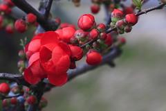 海棠Begonia1600-5 (likerain2011) Tags: china flowers red flower color macro nature horizontal closeup canon spring blossom outdoor begonia nanjing masterphotos anawesomeshot artisticflowers 5d2