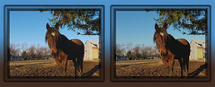 Jessee In Mud Field Cross-eye 3D (DarkOnus) Tags: horse lumix stereogram 3d crosseye pennsylvania stereography buckscounty equine jessee crossview dmcfz35