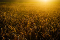Sun-fed (agruszka21) Tags: sunset field gold march pentax poland polska 2015 będzin zagłębie k200d pentaxart thepinnaclehof tphof tphofmarch2015