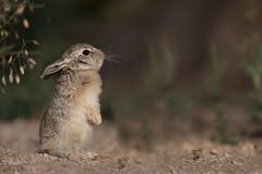 Wild hare (Baby) () Tags: wild baby lens hare desert super images bin getty sultan qatar potographers   qatat  superlens potographer        binsultan lesnafi