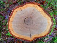 Baumstumpf (greenoid) Tags: tree stump baum baumstumpf jahresringe baumscheibe