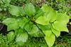 DSCN9735 (moccasinlanding) Tags: green gold shiny fragrant rippled irishluck fragrantgold