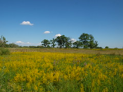 (jokky39) Tags: summer field yellowflower flowerfield