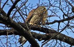 Falco tinnunculus (upsa-daisy) Tags: