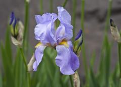 iris flower blossom