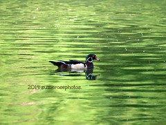 river green (Kazooze) Tags: nature river duck earlymorning russianriver woodduck malewoodduck monterioca avianexcellence