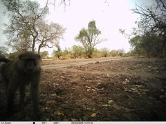 Zakouma Trail Cam Olive Baboon at Rigueik (inyathi) Tags: africa nature animals chad wildlife safari monkeys nationalparks mammals baboons primates tchad olivebaboon zakouma papioanubis geoafrica