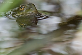 Submarinefrog