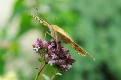 Il Distacco (ironmember) Tags: vanessa butterfly bokeh noflash nophotoshop fiore farfalla dettaglio definizione d90 decollo levitazione ascesa manolibera nikond90 madei distacco tamron16300vc