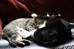 IMG_2976 (Jenn ) Tags: cats felix aslan rescuecat formerstray fiv rescuecats fivcat fivcats fivpositive formerstrays fivawareness