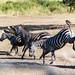 Zebras at Serengeti National Park - © 2015 Raphaëlle Schmitz
