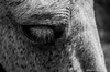 eye (tina8907) Tags: blackandwhite horse eye animal eyelashes bn pony occhio animale biancoenero ciglia