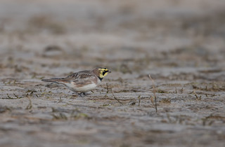 Shorelark Holkham Gap 18-02-2017-1953