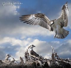 Osprey Family (mikeyasp) Tags: ospreys birds inflight nests outdoors nature pandionhaliaetus evergladesnationalpark everglades