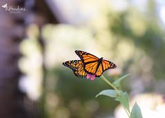 The Monarch's are coming! (explore) (BHawk Photography) Tags: monarchbutterflies raisingbutterflies migration indiana summer bokeh bhawkinsphotography
