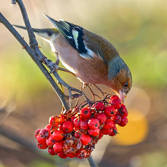 A Veritable Feast II (paulapics2) Tags: bird chaffinch winter red songbird bokeh berries feeding depthoffield outdoor food plant nature hydehallgardens rhsgardens fringillacoelebs canoneos5dmarkiii canonef70300mm