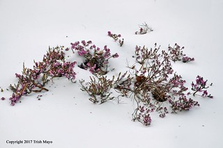 Heather In The Snow