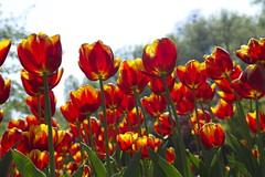 _DSC0764 (Riccardo Q.) Tags: parcosegurtàtulipani places parco altreparolechiave fiori tulipani segurtà