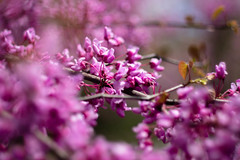 Cherry Blossoms (Northern Wolf Photography) Tags: pink flowers leaves canon cherry spring purple unitedstates massachusetts branches 28mm blossoms northandover fd em5