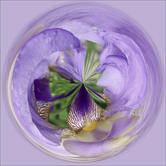 How About an Iris as an Orb? (joeldinda) Tags: iris flower raw distorted joeldinda 1v1
